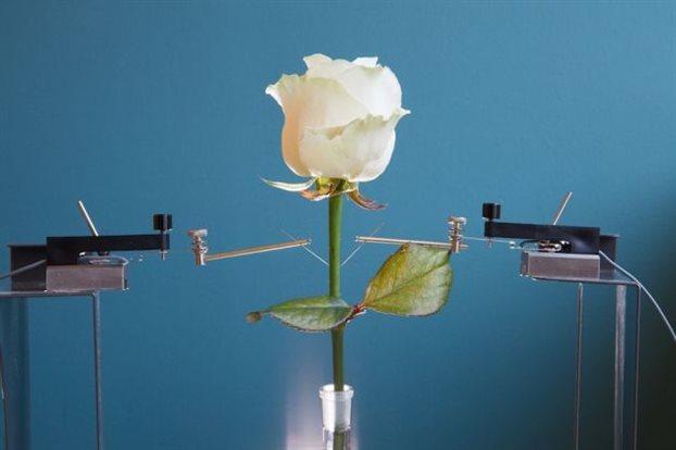perierga.gr - Ρεύμα από τριαντάφυλλο!
