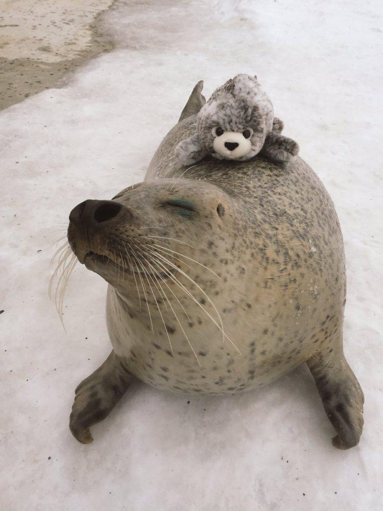 perierga.gr - Αξιαγάπητη φώκια δεν σταματά να αγκαλιάζει λούτρινο που της μοιάζει!