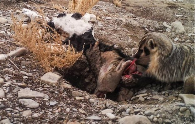 perierga.gr - Ασβός βιντεοσκοπήθηκε να θάβει ολόκληρο μοσχάρι!