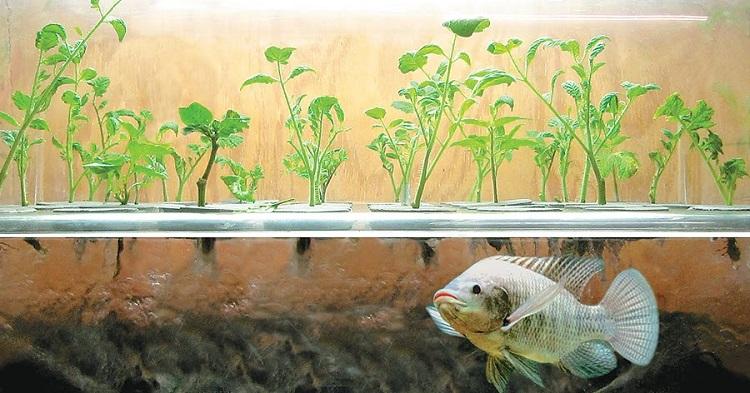 perierga.gr - Επαναστατική καλλιεργητική μέθοδος με ψάρια!