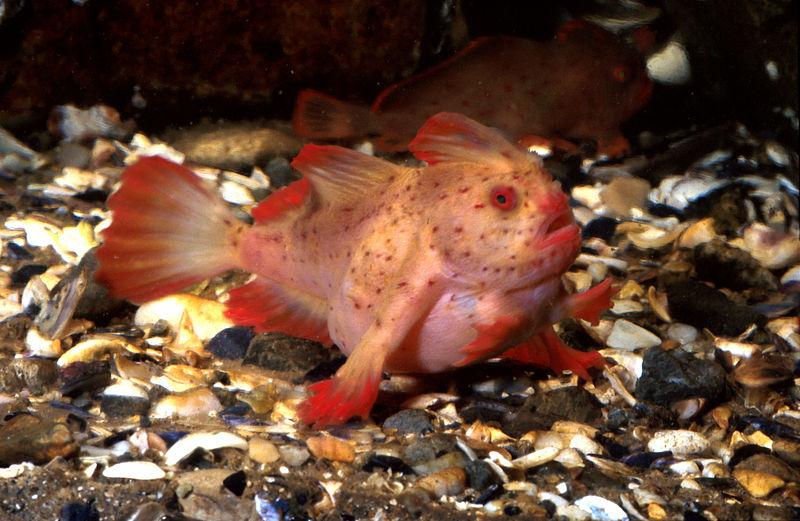 perierga.gr - Παράξενα ψάρια με... χέρια περπατάνε στο βυθό!