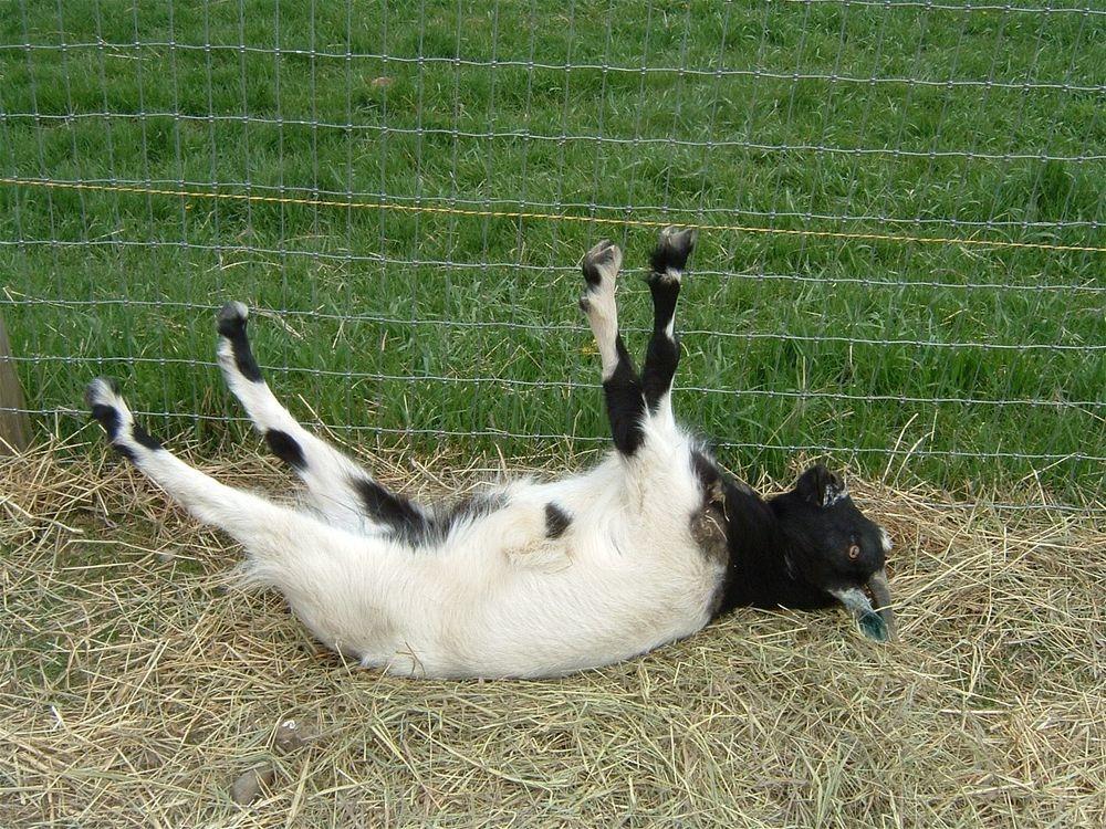 perierga.gr - Κατσίκες λιποθυμούν σαν άνθρωποι!