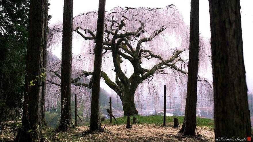 perierga.gr - Η άνθιση των κερασιών στην Ιαπωνία σε εκπληκτικές εικόνες!