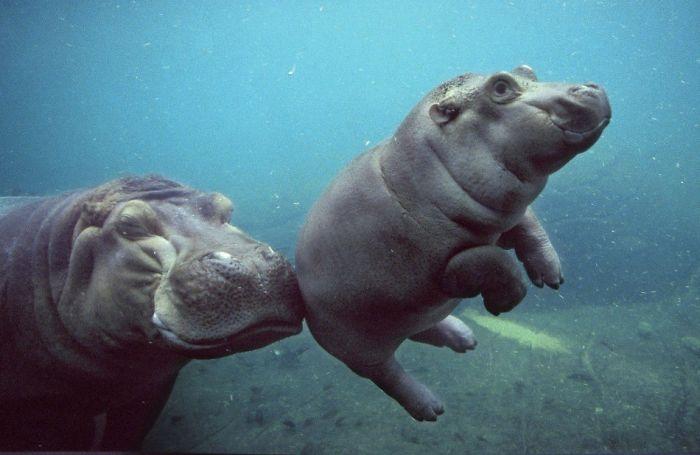 perierga.gr - Αξιολάτρευτα μωρά ιπποποταμάκια!