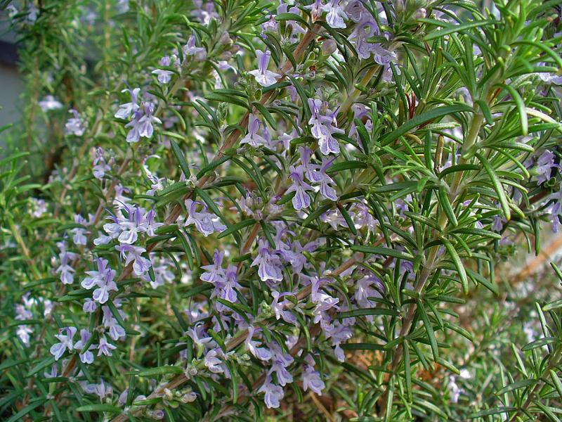 perierga.gr - 10 φυτά που είναι φυσικά αντικουνουπικά!