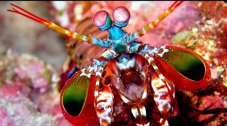 perierga.gr - Γαρίδα mantis, ο φόβος και ο τρόμος των βυθών!