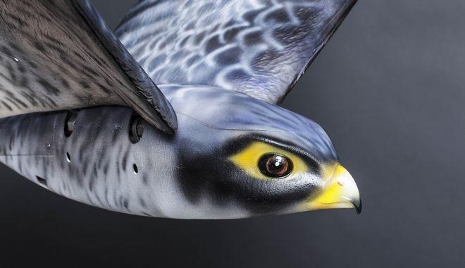 perierga.gr - Aεροδρόμιο επιστράτευσε γεράκι-ρομπότ για να διώχνει τα πουλιά