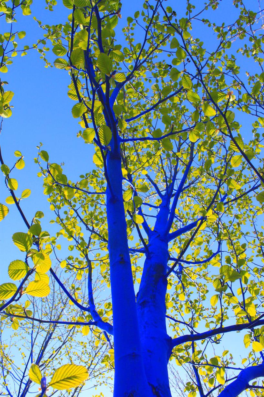 perierga.gr - Έλληνας καλλιτέχνης βάφει μπλε τα δέντρα της Αυστραλίας!