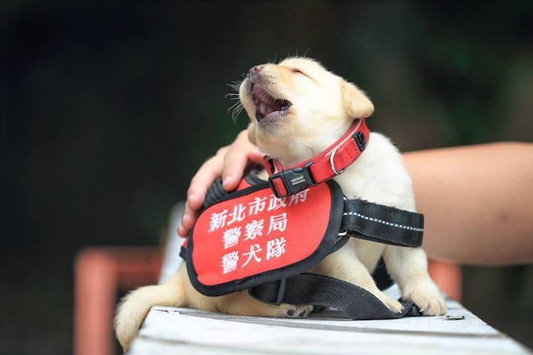 perierga.gr - Χαριτωμένα κουτάβια εκπαιδεύονται για να μπουν στην Αστυνομία της Ταϊβάν!