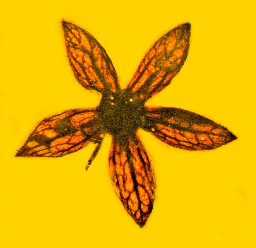 perierga.gr  - Λουλούδια 100 εκ. ετών ανακαλύφθηκαν άριστα διατηρημένα σε κεχριμπάρι!