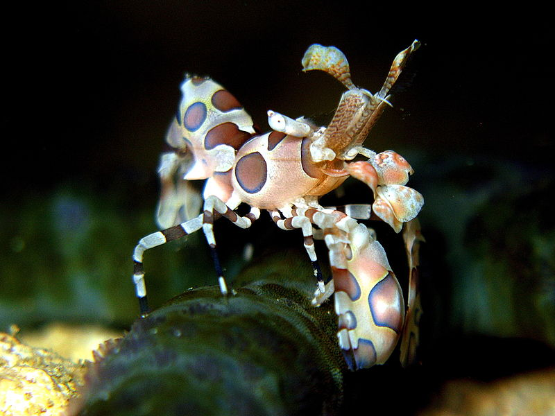 perierga.gr - Φανταχτερή γαρίδα... αρλεκίνος!