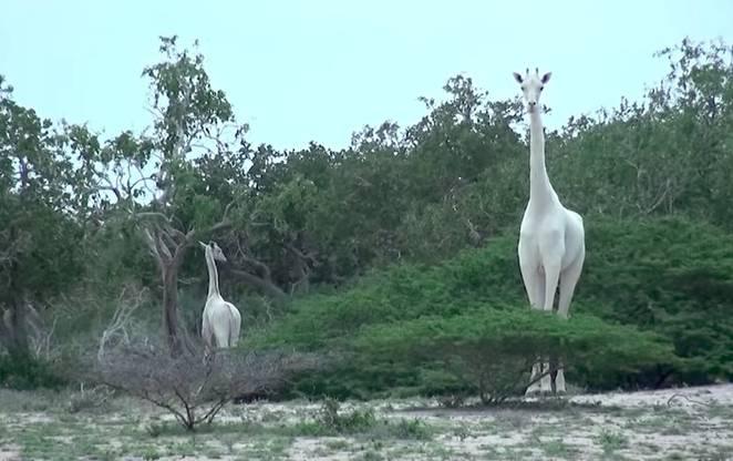 perierga.gr - Σπάνιες λευκές καμηλοπαρδάλεις αποτυπώνονται για πρώτη φορά σε βίντεο