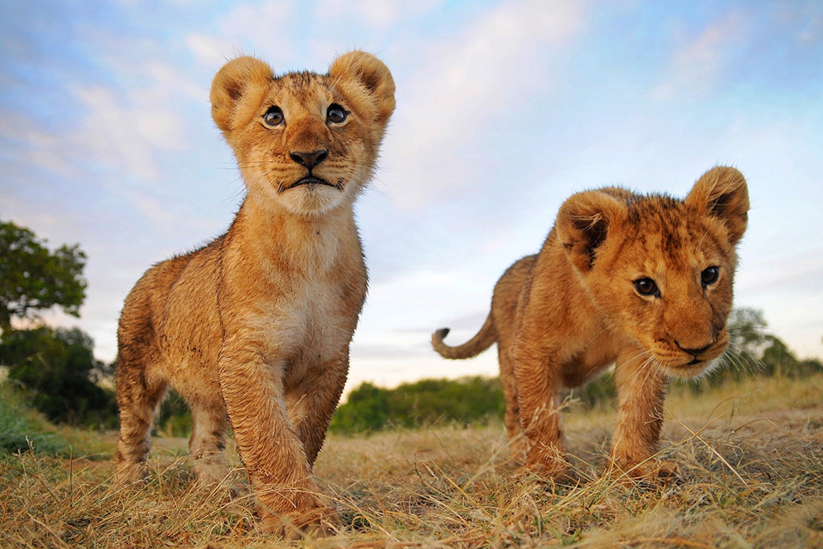 perierga.gr - Υπήρξαν λιοντάρια στην Ελλάδα;