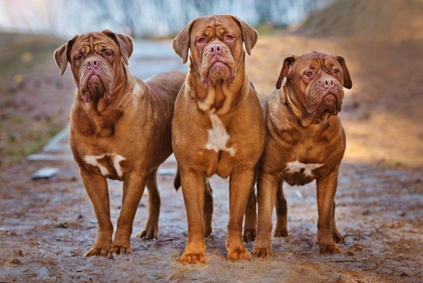 perierga.gr - 9 από τις μεγαλύτερες ράτσες σκύλων στον κόσμο