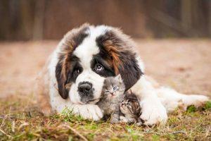 Μεγαλόσωμες ράτσες σκύλων