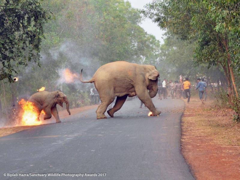 Perierga.gr - Συγκλονίζει η φωτογραφία μικρού ελέφαντα που καίγεται από επίθεση