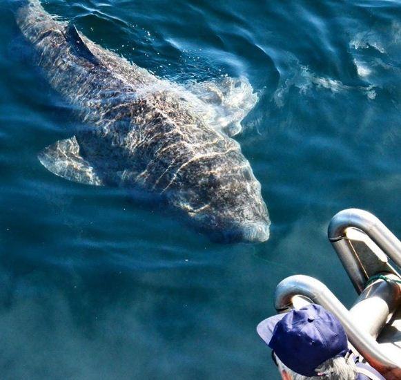 Perierga.gr - Ψάρεψαν καρχαρία 512 ετών! Το γηραιότερο εν ζωή πλάσμα στον κόσμο