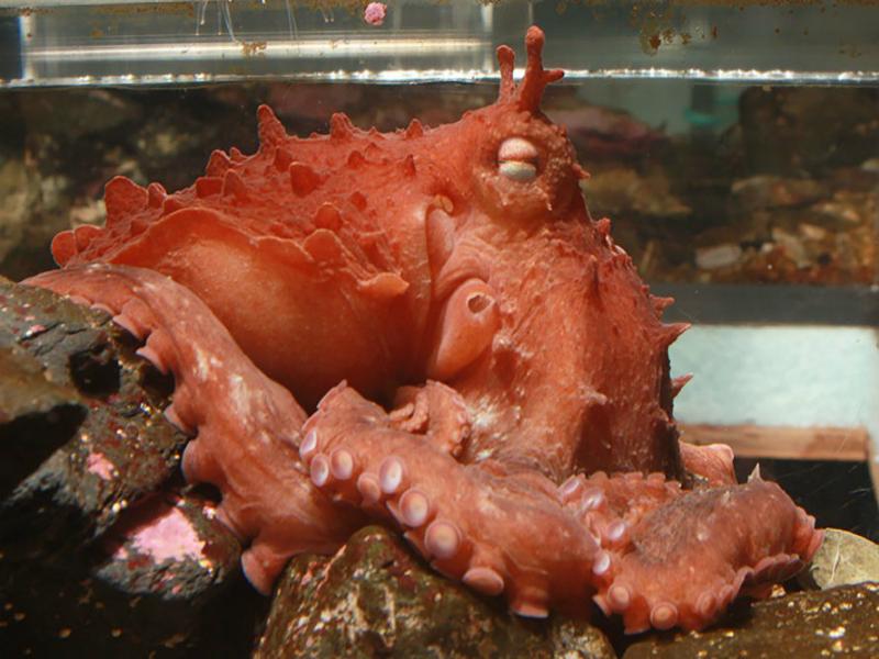 Perierga.gr - Ανακαλύφθηκε νέο γιγαντιαίο είδος χταποδιού