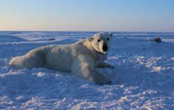 Perierga.gr - Οι πολικές αρκούδες θα εξαφανιστούν πιο γρήγορα απ΄ ότι πιστεύαμε