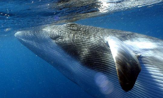 Perierga.gr - Μια σπάνια φάλαινα κολυμπά κάτω από την παγωμένη θάλασσα της Ανταρκτικής