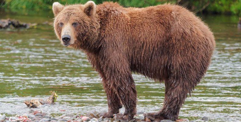 Perierga.gr - Αρκούδα απολαμβάνει το μπάνιο της σε πισίνα!