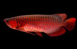 Perierga.gr - Πώς ένα ψάρι για ενυδρείο κατέληξε να πωλείται έναντι 300.000$!