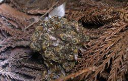 Perierga.gr - Οι ιαπωνικές μέλισσες που αυτοθυσιάζονται