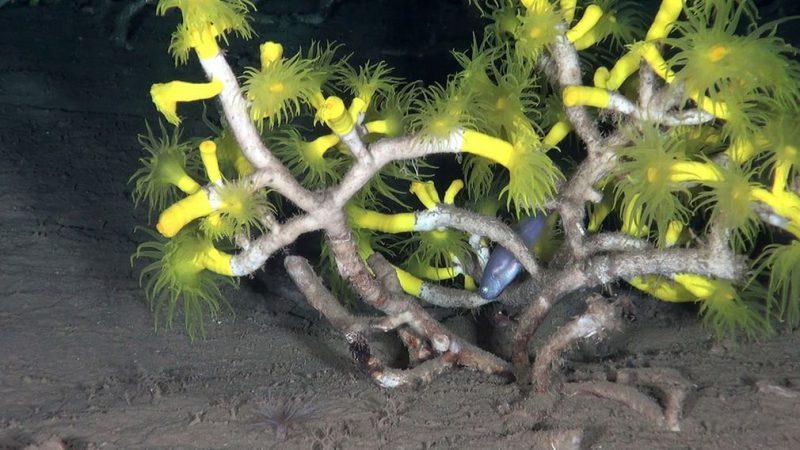 Κοραλλιογενείς ύφαλοι στο βυθό της Σικελίας
