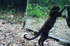 Perierga.gr - Άγρια ζώα κοιτάζονται για πρώτη φορά στον καθρέφτη!