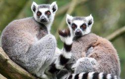 Perierga.gr - Οι λεμούριοι είναι το πιο απειλούμενο είδος στον πλανήτη