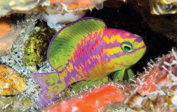 Perierga.gr - Νέο πολύχρωμα ψάρι ανακάλυψαν οι επιστήμονες