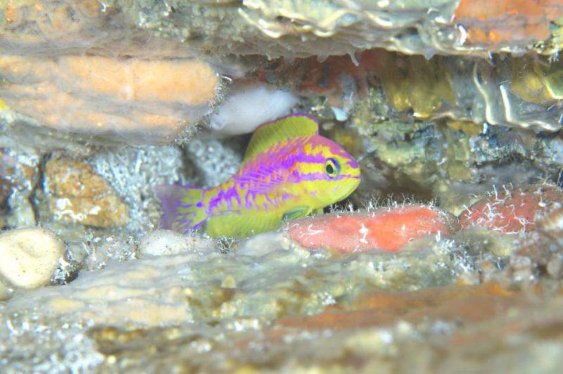 Perierga.gr - Νέο πολύχρωμο ψάρι ανακάλυψαν οι επιστήμονες