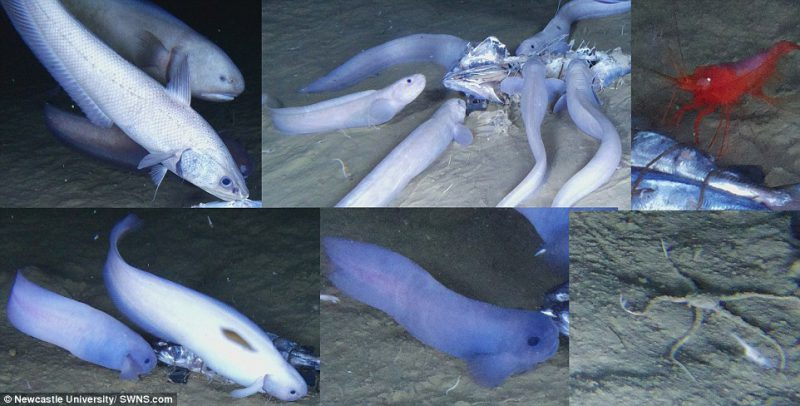 Perierga.gr - Τρία νέα είδη ψαριών ανακαλύφθηκαν σε βάθη 7.500 μέτρων
