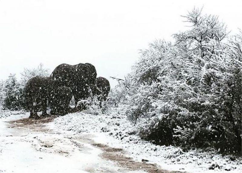 Perierga.gr - Νότια Αφρική: Καμηλοπαρδάλεις, λιοντάρια και ελέφαντες στα χιόνια