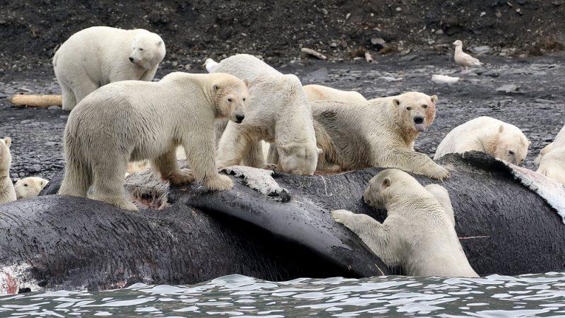 Perierga.gr - Wrangel: Το νησί της πολικής αρκούδας και του μαμούθ