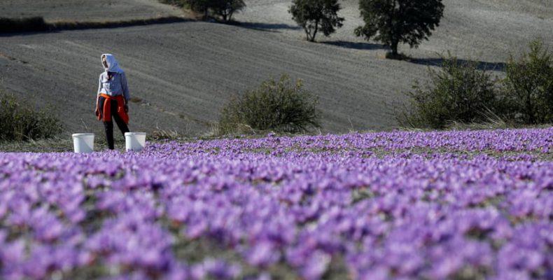 Perierga.gr - Ένα φωτογραφικό ταξίδι στην καλλιέργεια του κρόκου Κοζάνης