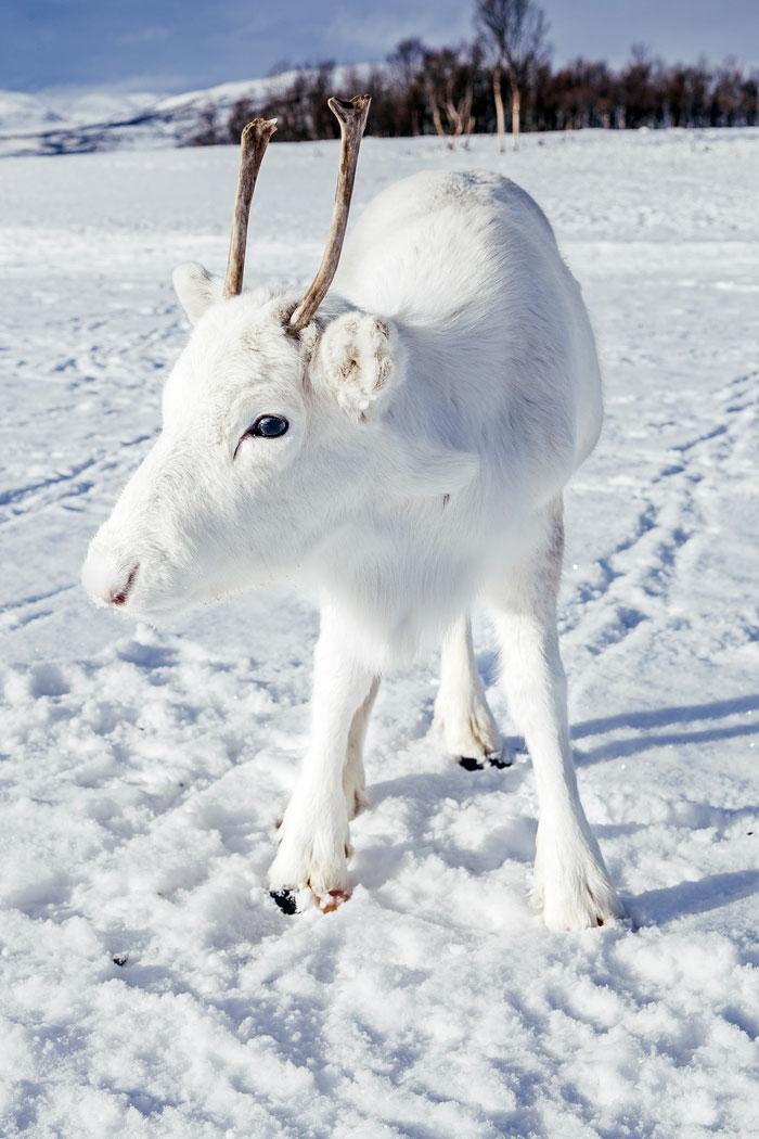 Perierga.gr - Σπάνιος λευκός τάρανδος εντοπίστηκε στη Νορβηγία