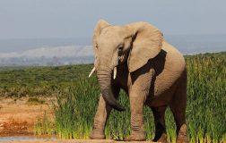 Perierga.gr - Η φοβερή ανατομία της προβοσκίδας του ελέφαντα - Ποια τρία ανθρώπινα όργανα συνδυάζει