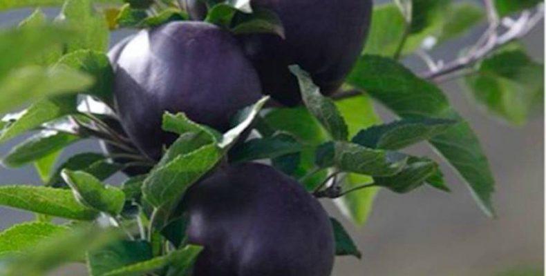 Perierga.gr - Σπάνια μήλα με μωβ χρώμα!