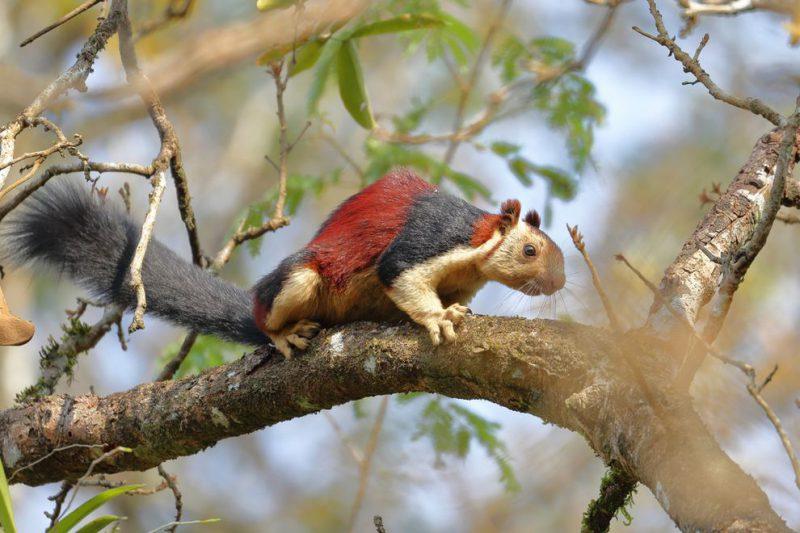 Perierga.gr - Οι πολύχρωμοι και μεγαλόσωμοι σκίουροι της Ινδίας
