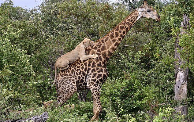 Perierga.gr - Τα θηλαστικά εξελίχθηκαν για να περπατούν στις μύτες των ποδιών τους