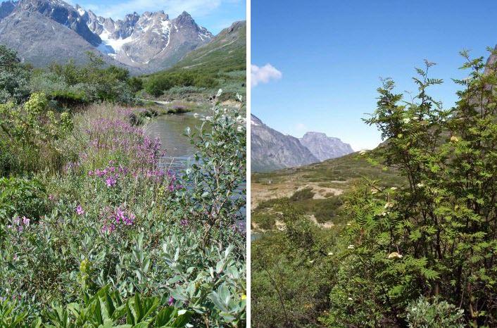 Perierga.gr - Το μοναδικό φυσικό δάσος της Γροιλανδίας