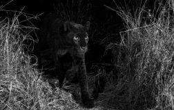 Perierga.gr - Σπάνια μαύρη λεοπάρδαλη καταγράφηκε σε βίντεο