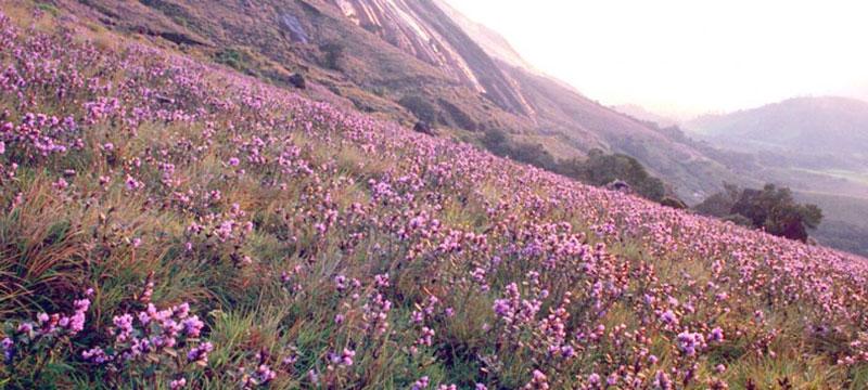 Perierga.gr - Ένα πανέμορφο λουλούδι που ανθίζει κάθε 12 χρόνια