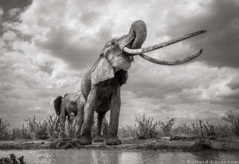 Perierga.gr - Φωτογραφίζοντας έναν από τους σπανιότερους ελέφαντες