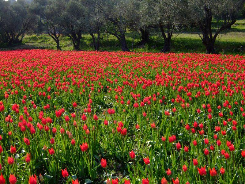 Perierga.gr - Λαλάδες: Οι άγριες τουλίπες της Χίου