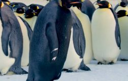 Perierga.gr - Εξαιρετικά σπάνιο είδος μαύρου αυτοκρατορικού πιγκουίνου καταγράφηκε σε βίντεο