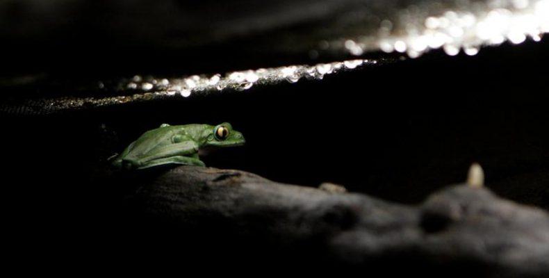 """Perierga.gr - Σπάνιος """"αόρατος"""" βάτραχος ανακαλύφθηκε από ερευνητές"""