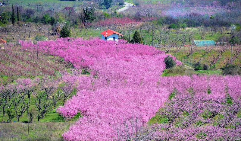 Perierga.gr - Μοναδικό θέαμα: Οι ανθισμένες ροδακινιές της Βέροιας
