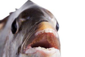 Perierga.gr - Εντοπίστηκε ψάρι... με ανθρώπινα δόντια!